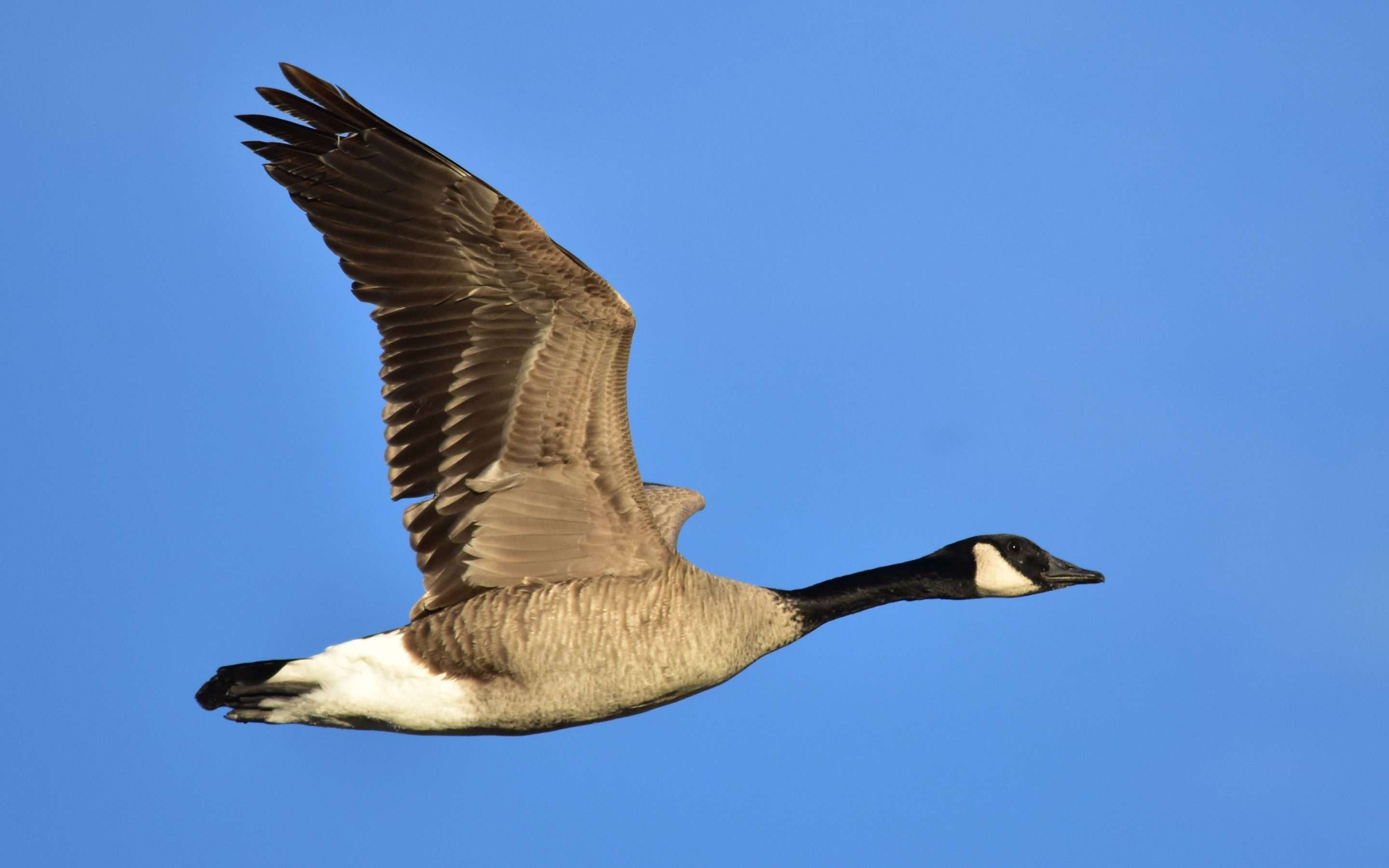 Boeing's Mythical Canada Goose
